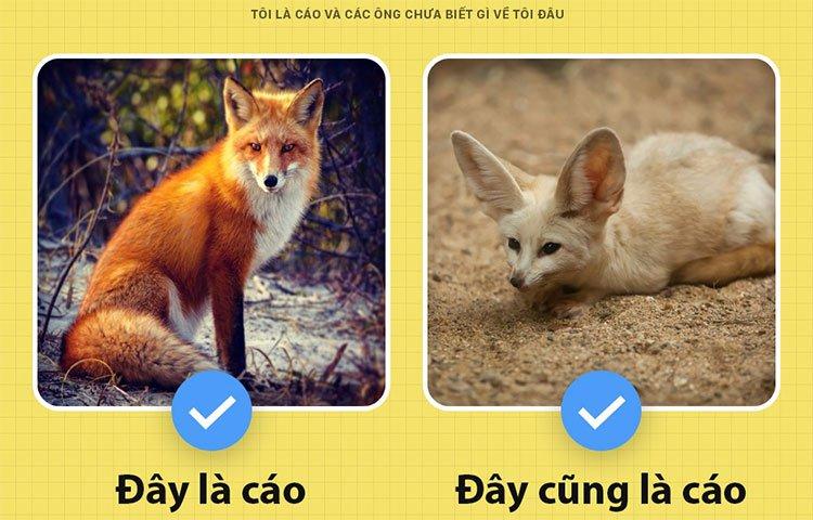 Fun fact thú vị về loài cáo