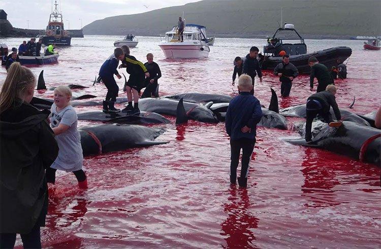 Hãi hùng cảnh tàn sát cá voi, nước biển chuyển màu máu