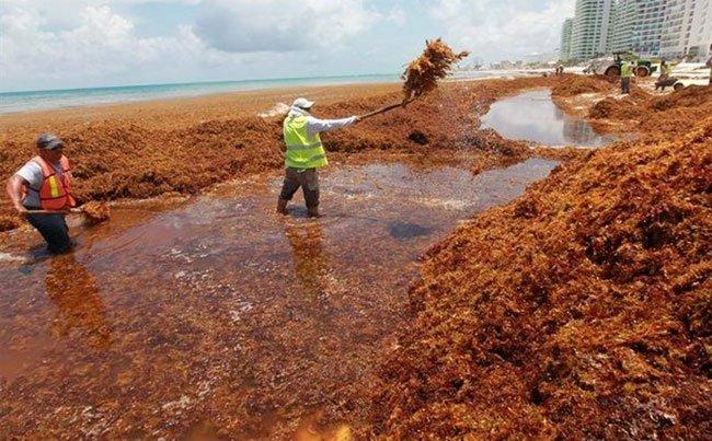 Hàng chục nghìn tấn tảo đuôi ngựa nuốt chửng các bãi biển của Mexico