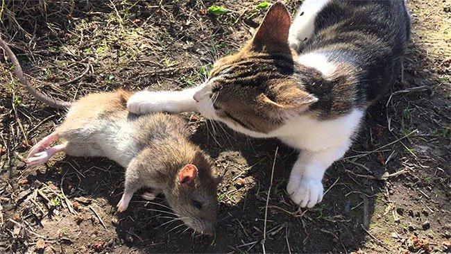Hóa ra không phải cứ nuôi mèo là bớt chuột