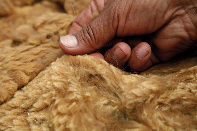 Ít ai ngờ chú lạc đà này lại là nguồn gốc của loại vải sợi quý hiếm nhất thế giới
