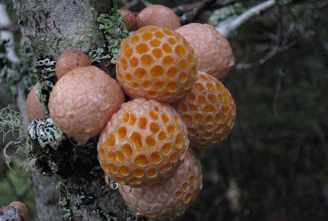 Khám phá loài nấm kỳ dị có hình dạng như chiếc tổ ong