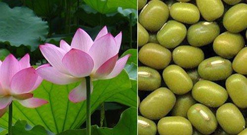 Khoa học Việt tách chất quý từ lá sen, đậu xanh giúp giảm cholesterol máu