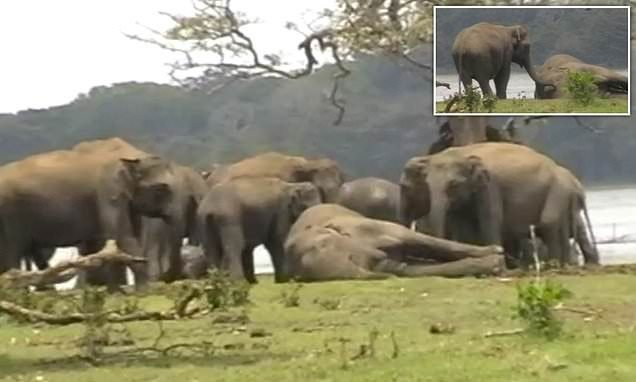 Kinh ngạc cảnh 300 con voi khóc thương ở đám ma voi đầu đàn bị giết