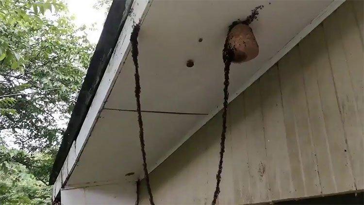 Kinh ngạc triệu con kiến bám vào nhau xây cầu sống tấn công tổ ong