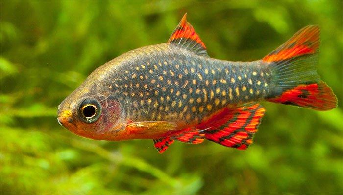"""Loài cá đẹp chói lóa, mệnh danh """"cá ngọc trai thiên đường"""""""