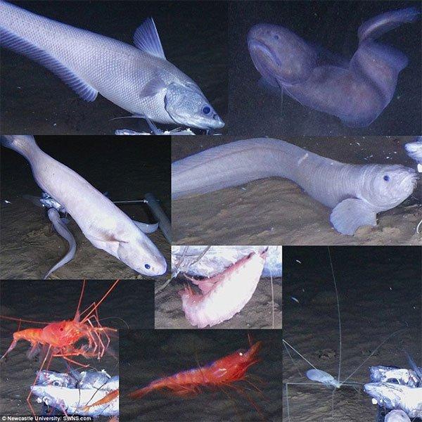 """Loài cá """"ma"""" chỉ sống ở độ sâu 7,5km dưới đáy biển, tan chảy khi lên bờ"""