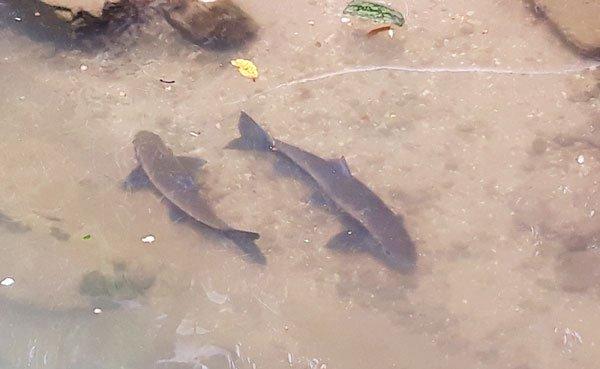 Loài cá quý như vàng dưới chân núi Hoàng Liên