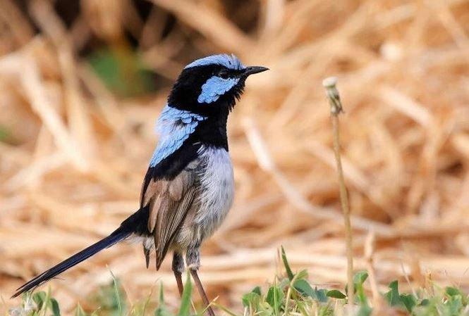 Loài chim học ngôn ngữ mới bằng cách nào?