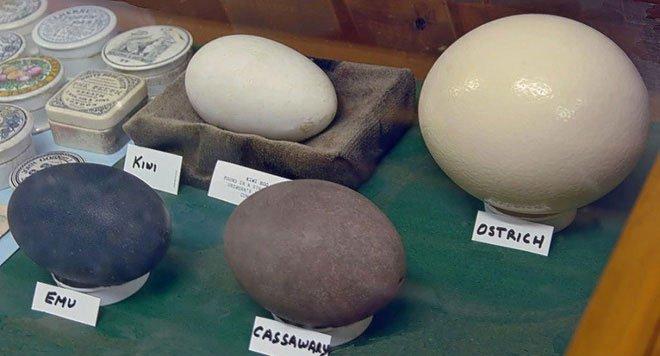 Loài chim kỳ lạ: Tuy bé nhỏ nhưng đẻ trứng thì thuộc loại to nhất thế giới