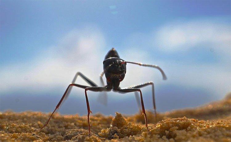 Loài kiến kỳ lạ nhất sa mạc: Biết giải toán lượng giác nhưng quên luôn đường về nếu thấy đồ ăn