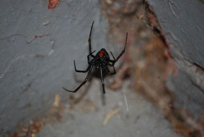 Loài nhện kịch độc Góa phụ đen đang di cư dần sang Bắc Mỹ 