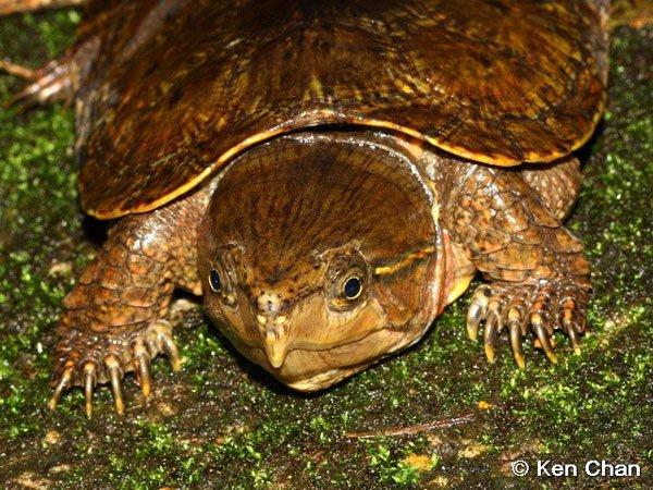 Loài rùa quý hiếm ở Việt Nam: Không rụt được cổ nhưng có thể trèo cây phăm phăm