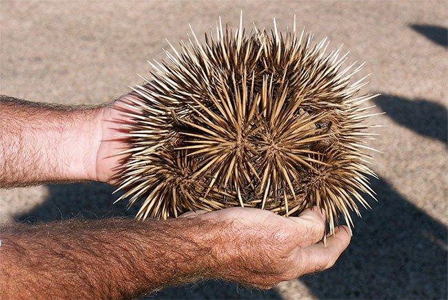 """Loài thú sở hữu đến… 4 dương vật """"độc nhất vô nhị"""" trên Trái đất"""