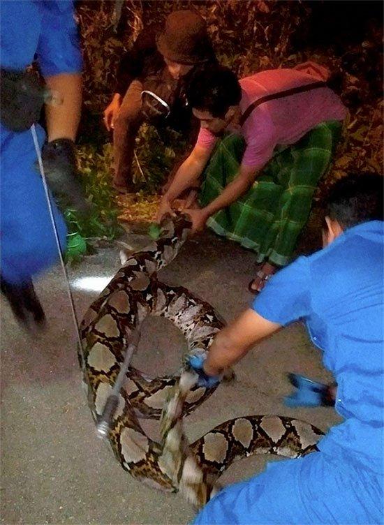 Malaysia: Trăn khổng lồ nặng 1 tạ, 10 người bắt không nổi