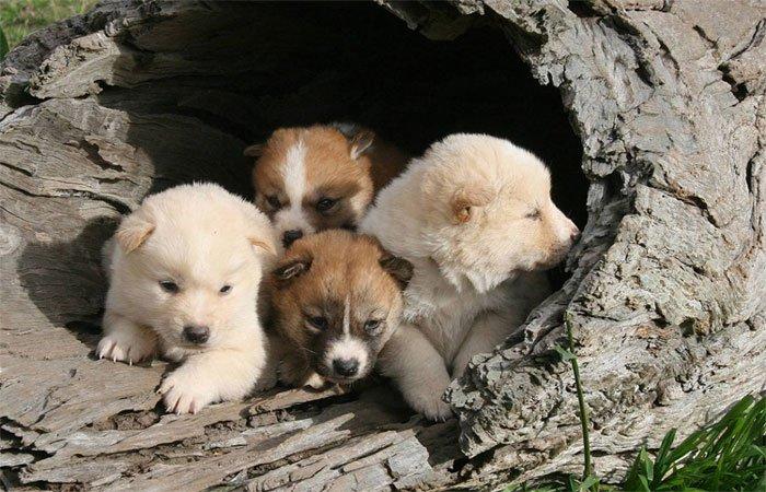 Mê mẩn loài chó hoang ngoại hình đáng yêu, tính cách như sói