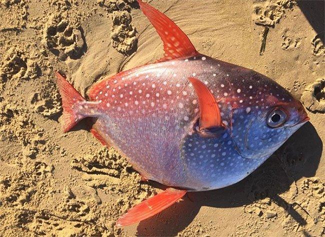 Ngư dân Phillipines bắt được cá mặt trăng khổng lồ
