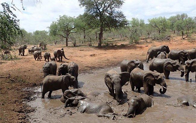 Nỗi khiếp sợ ong mật của voi rừng châu Phi