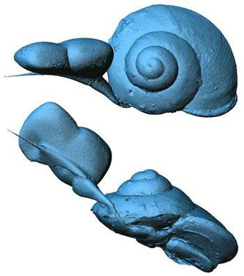 Ốc sên chết kẹt trong hổ phách 99 triệu năm
