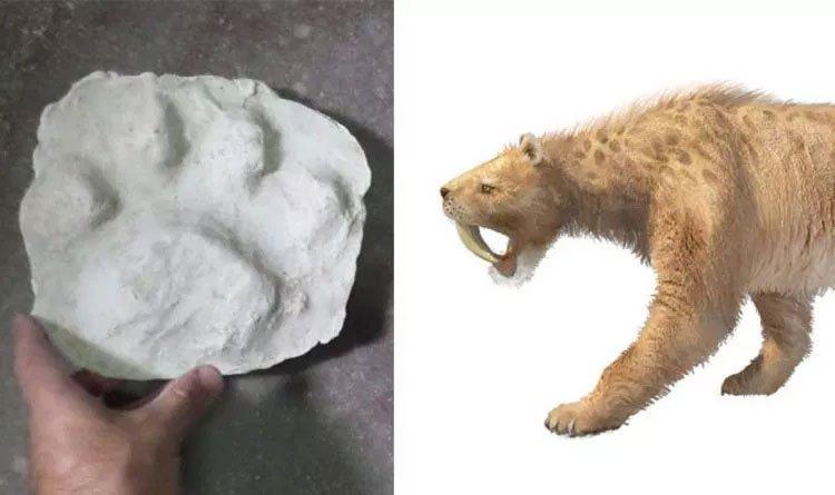 Phát hiện hiếm có: Dấu chân 30.000 năm tuổi của hổ răng kiếm