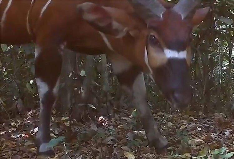 Phát hiện loài linh dương rừng lớn nhất thế giới tại Uganda
