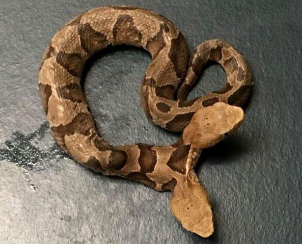Phát hiện rắn hai đầu cực hiếm ngay trong sân nhà