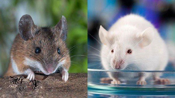 Sự thật khó tin: Một đôi chuột thí nghiệm có thể đắt ngang một chiếc xe hơi tiền tỉ