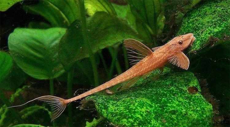 Sự thực kỳ thú về loài cá nhìn như máy bay mini