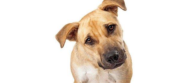 Tại sao chó nghiêng đầu khi bạn nói chuyện với nó?