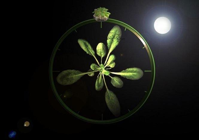 Thực vật điều chỉnh nhịp sinh học như thế nào?