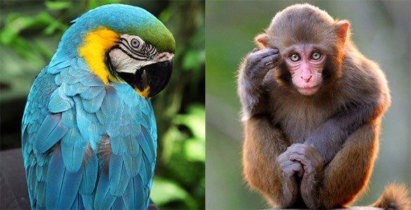 Vẹt là loài cực kỳ thông minh nhưng vì sao chúng có khả năng đó?