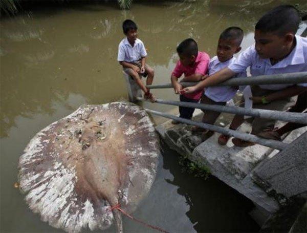Vì sao cá đuối khổng lồ biến mất bí ẩn?