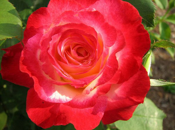 10 loài hoa hồng đẹp nhất thế giới