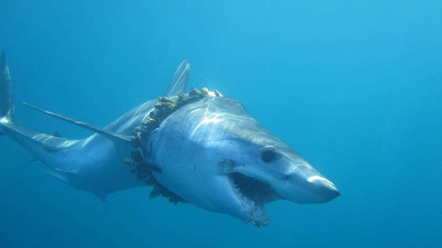 1000 con cá mập đang phải sống hết sức khổ sở vì tác hại của nhựa với đại dương