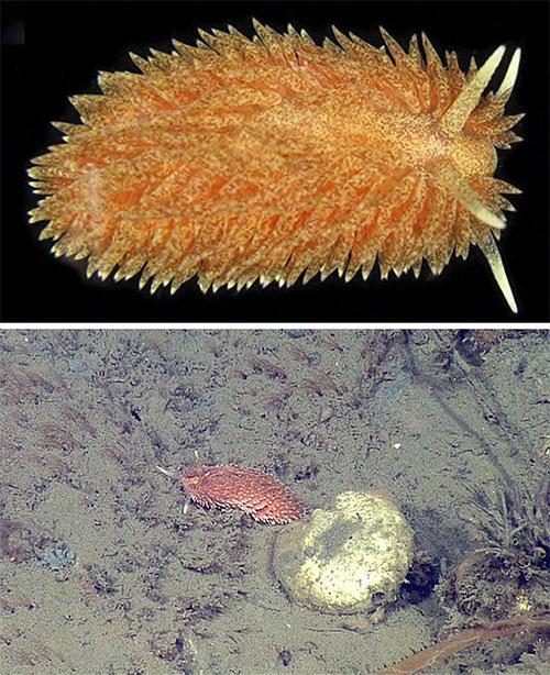 5 loài hải sâm tuyệt đẹp mới phát hiện ở Thái Bình Dương