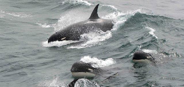 """5 lý do khiến cá voi sát thủ là những thiên tài """"máu lạnh"""" của đại dương"""