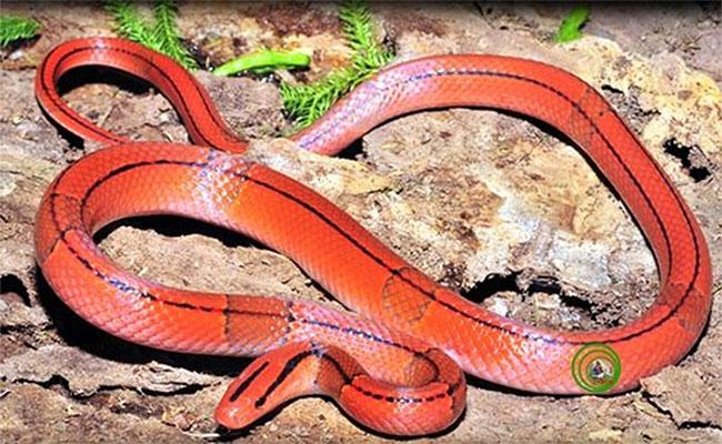 7 loài rắn nhìn đáng sợ... nhưng vô hại với con người