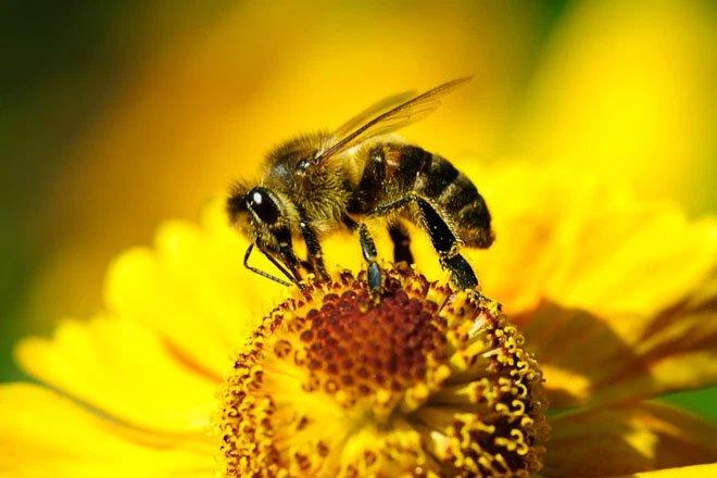 Ai bảo cà phê chỉ tốt cho người? Những con ong được uống caffeine cũng làm việc hiệu quả hơn bình thường
