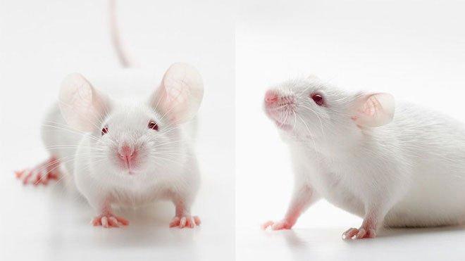 AI tiết lộ mặt chuột cũng biểu đạt được hàng loạt cảm xúc – giống như con người vậy