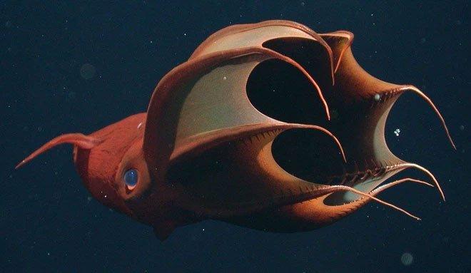 Bạn biết gì về Vampyroteuthis infernalis: Loài ma cà rồng dưới đáy biển sâu?