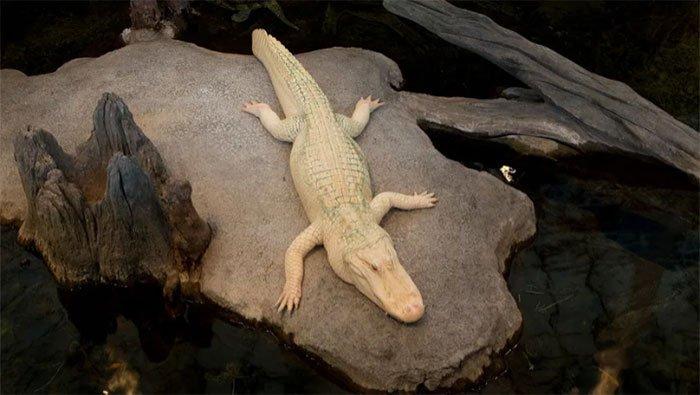 Bạn có thể thoát khỏi cá sấu bằng cách chạy theo đường zigzag không?