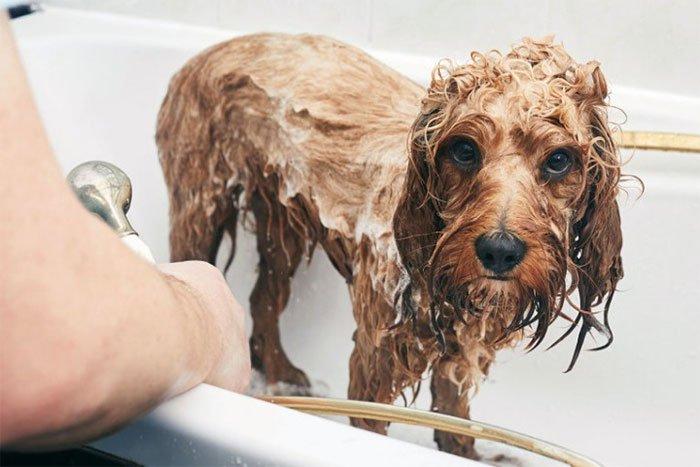 Bạn nên tắm cho chú chó cưng bao lâu một lần?