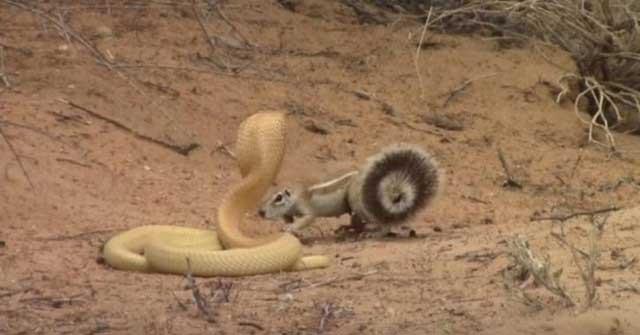 Bằng thân pháp cực kỳ linh hoạt, sóc nhỏ biến màn đi săn của rắn hổ mang thành một trò lố