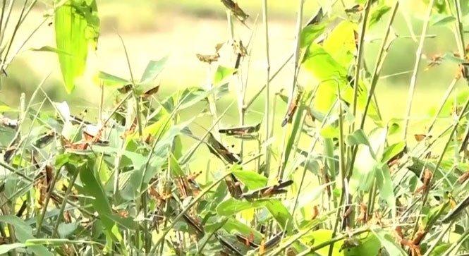 Bão châu chấu tàn phá cây trồng tại huyện vùng cao Thanh Hóa