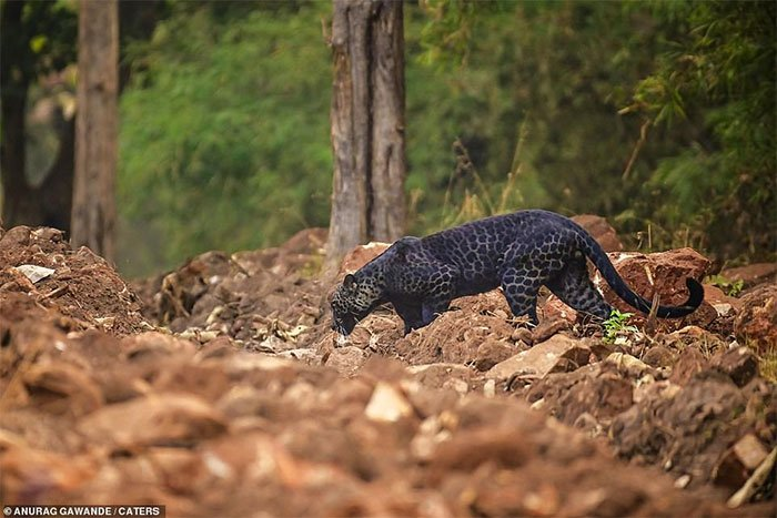Báo đen cực hiếm bị bắt gặp băng qua đường săn nai ở Ấn Độ