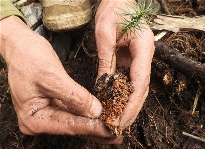 Bảo tồn thành công hai loài thông quý hiếm tại Pù Luông