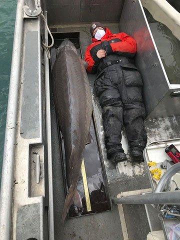 Bắt được cá tầm trăm tuổi, nặng hơn 100kg