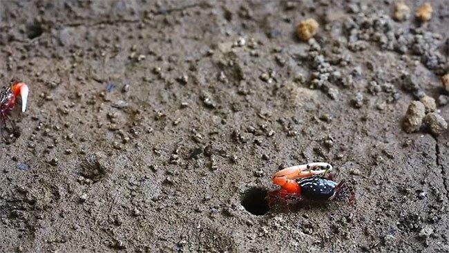 Bất ngờ loài còng nhỏ con thải lượng khí nhà kính khủng
