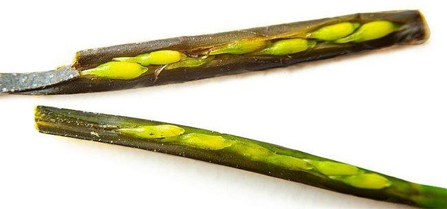 Bất ngờ với nguồn lương thực mới trong tương lai: Trồng cỏ biển lấy... gạo