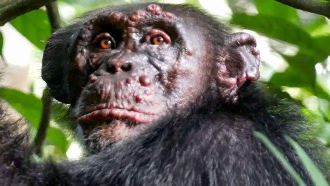 Bệnh phong lần đầu tiên được phát hiện trên loài tinh tinh hoang dã